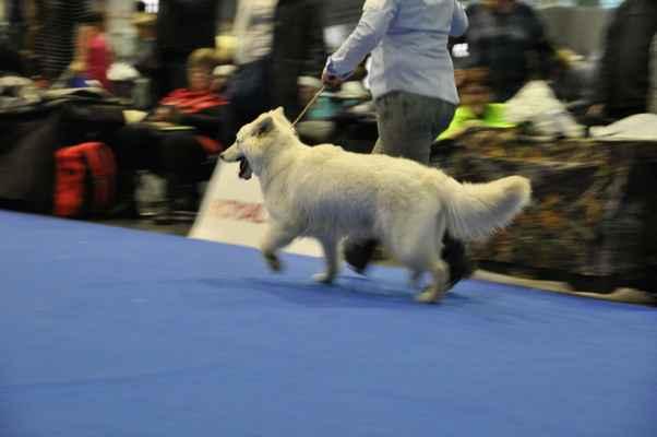 Brave Moravia Snow Flake - Female Puppy class