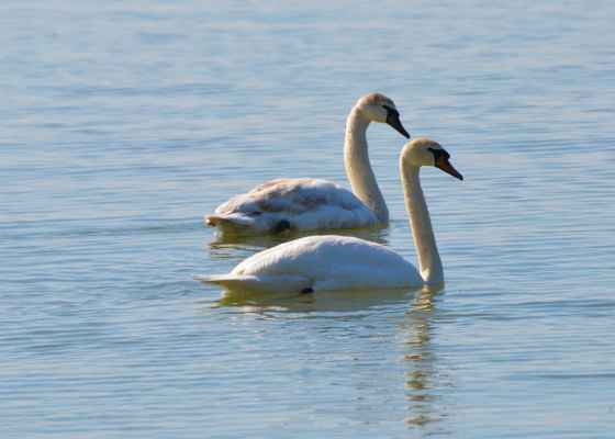 Labute a jemné vlnky Dunaja