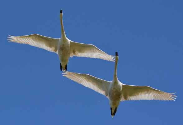 je až neuveriteľné, ako ladne letí taký veľký a relatívne ťažký vták