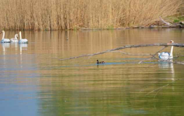 Fotka nič moc- dala som ju len dokumentačne - prvýkrát som si tu všimla sliepočku vodnú/zelenonohú