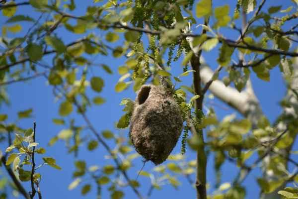 Ale našla som iné, podľa všetkého opravované lanské hniezdo